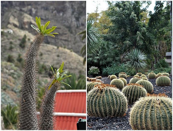 cactus tenerife
