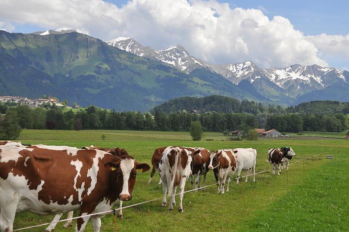vaches Suisse