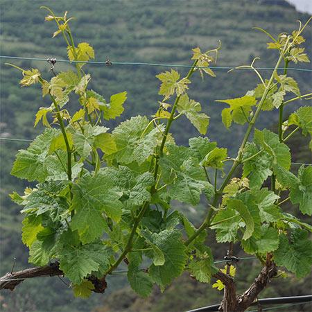 cep vigne