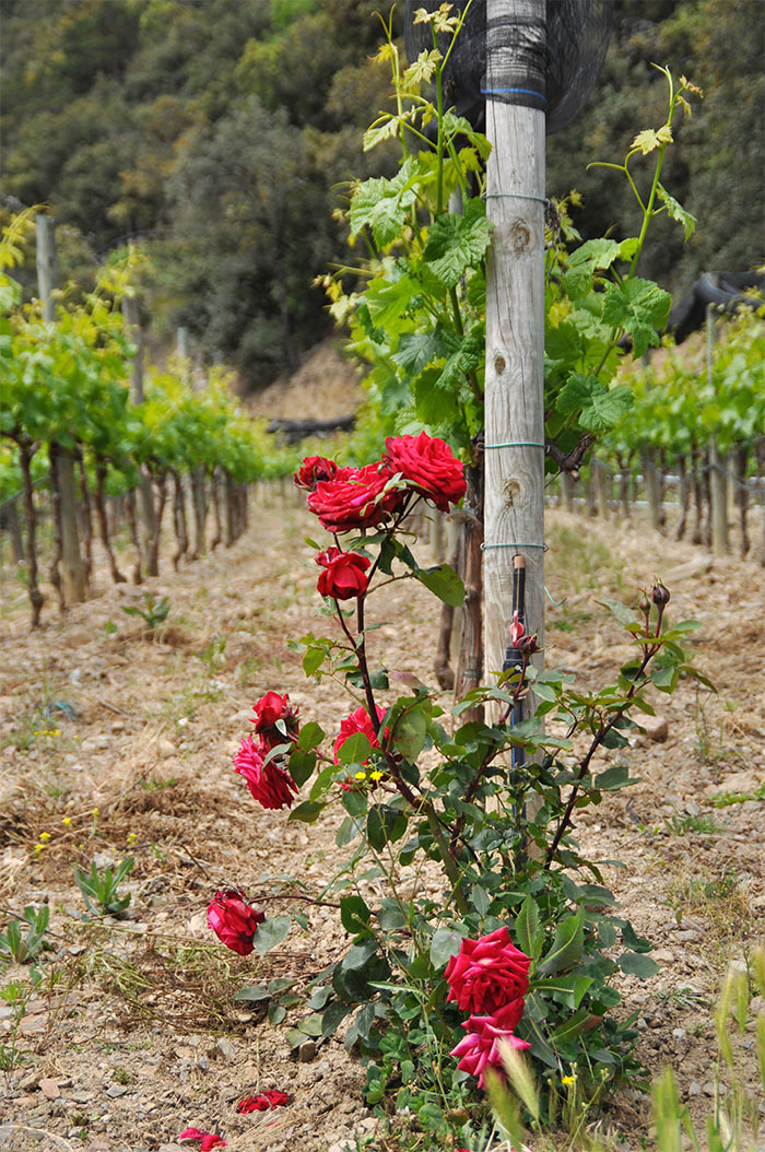 ceps de vigne et rosier