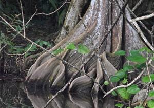 arbre indian river