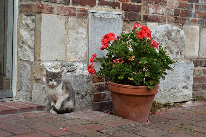 chat géranium