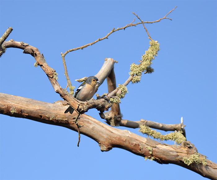 chaffinch madère oiseau