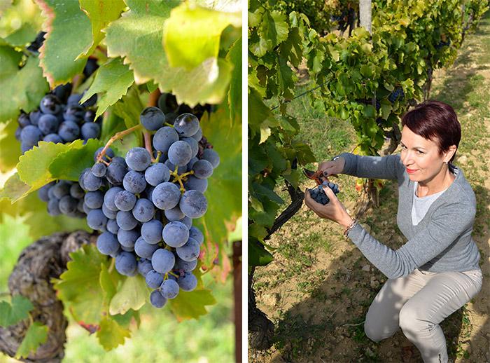 harvesting grapes in Luberon