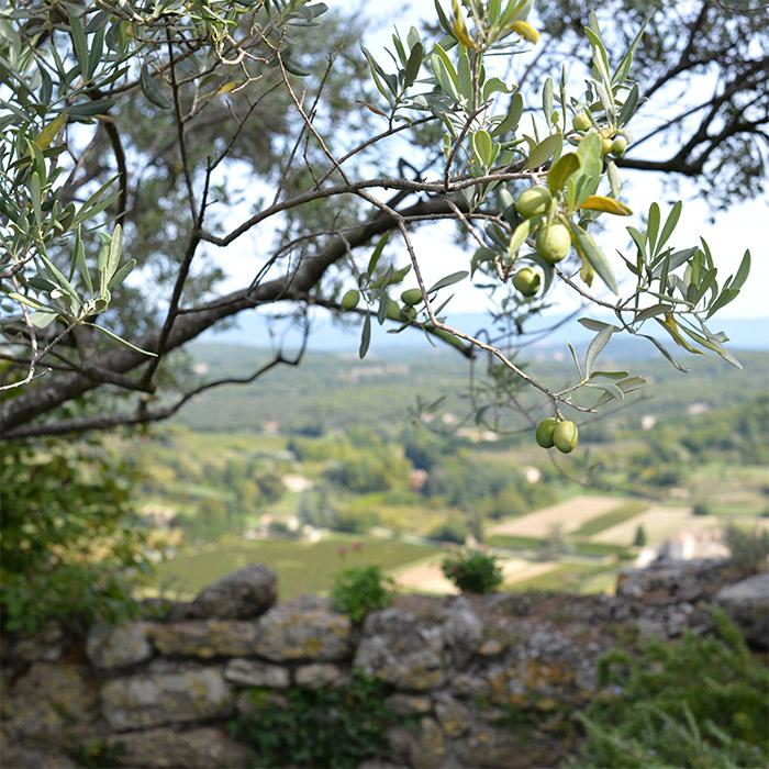 olivier du luberon provence