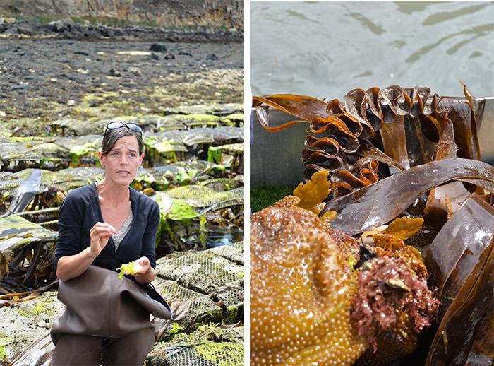 au gré des marées algues