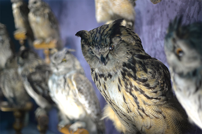 owl musee histoire naturelle toulouse