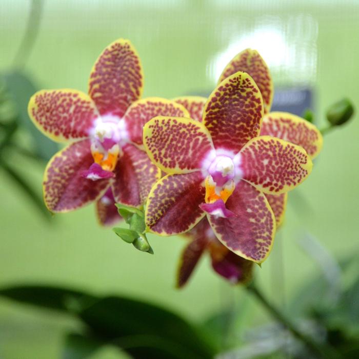 montreal jardin botanique orchidee