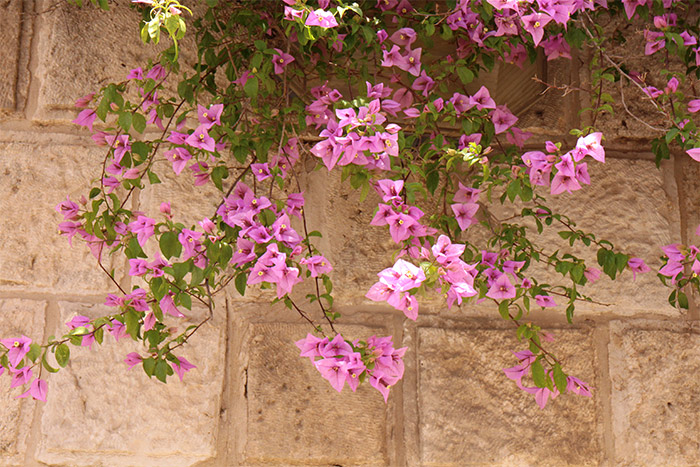 bougainvillees jerusalem