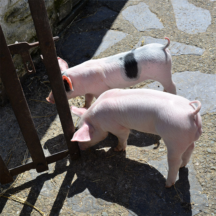 muckross estate pigs