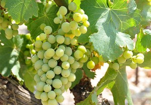 vigneronscaractere_00