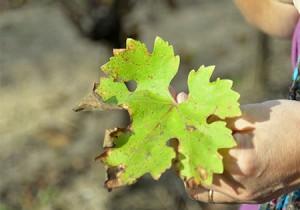 feuille vigne
