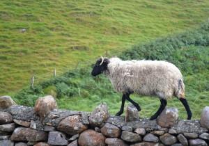 mouton connemara