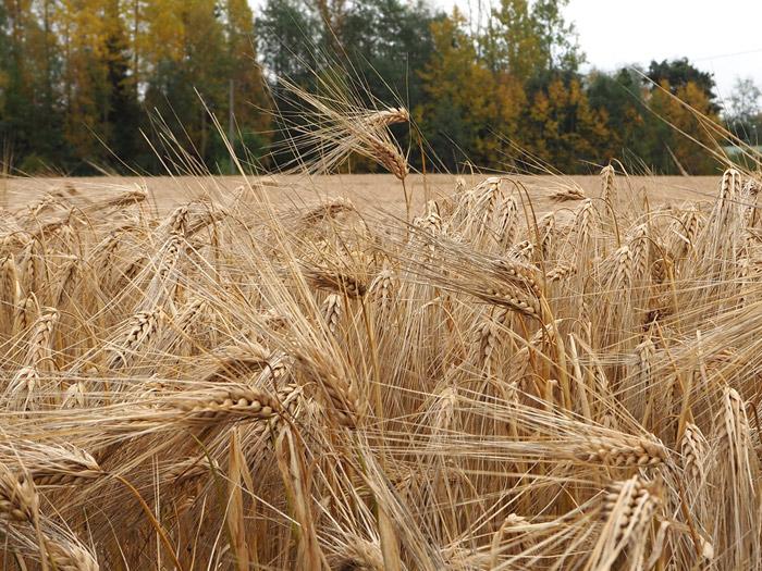 Finland Mikkeli barley
