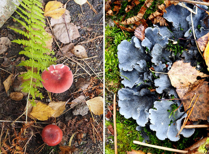 champignons finlande Puumala