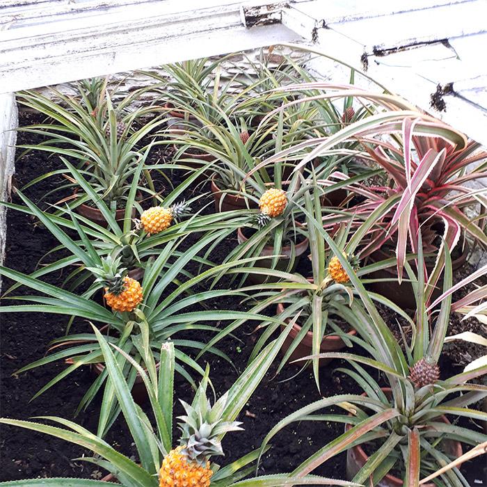 ananas Heligan Gardens