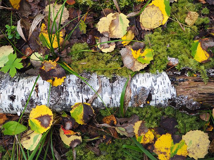 Finlande Linaansaari forêt bouleau