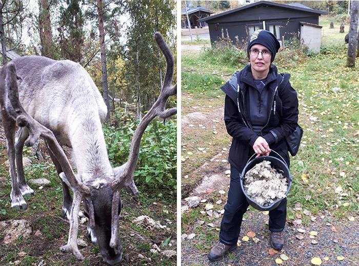 finlande renne lichen