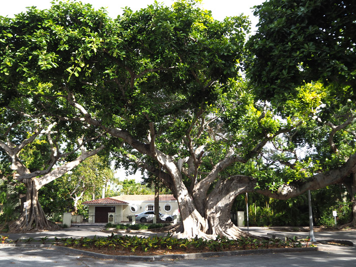 maison coral gables arbre