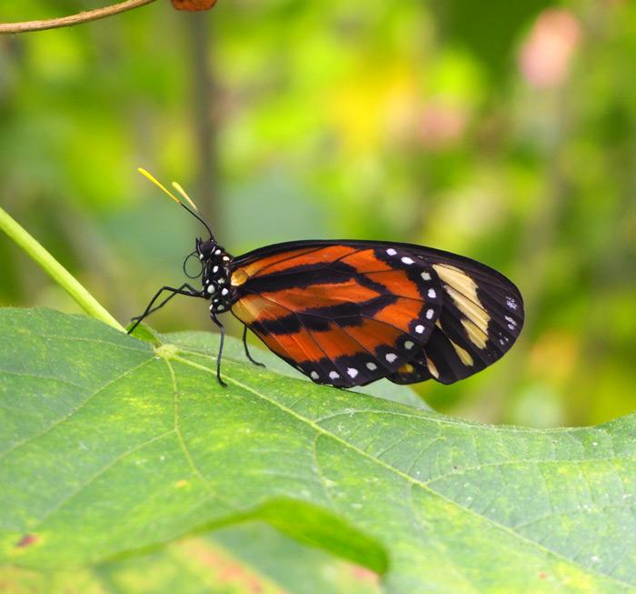 miami fairchild papillon