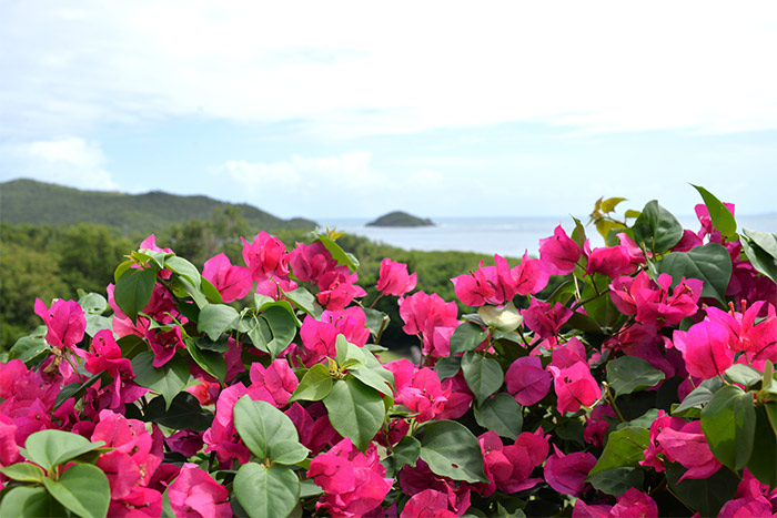 Martinique bougainvillee