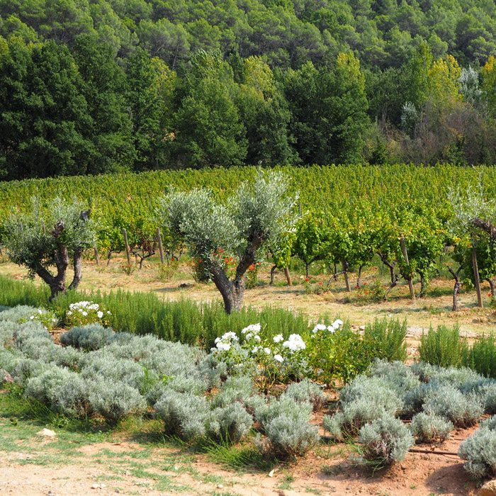 Vignes chateau berne