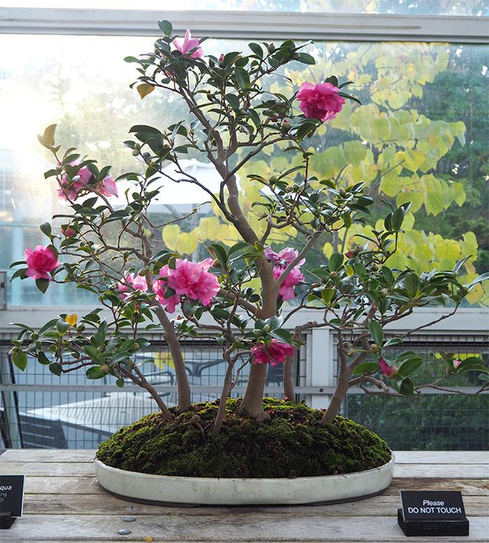 brooklyn jardin botanique bonsai