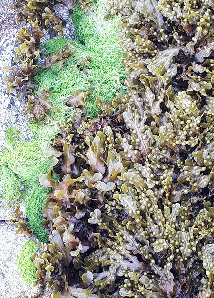 algues ile brehat cotes armor