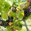 raisin jersey la mare wine estate vigne