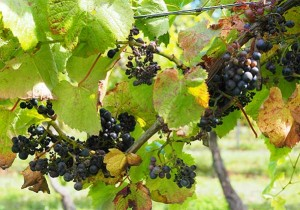 raisin jersey la mare wine estate vigne