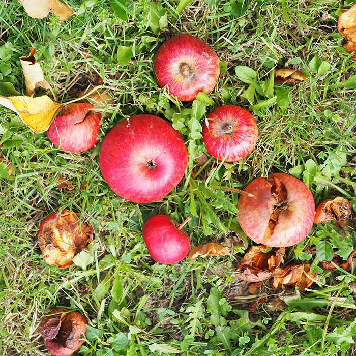 jersey island apples cider