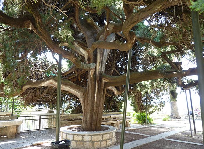 monastere franciscain hvar arbre