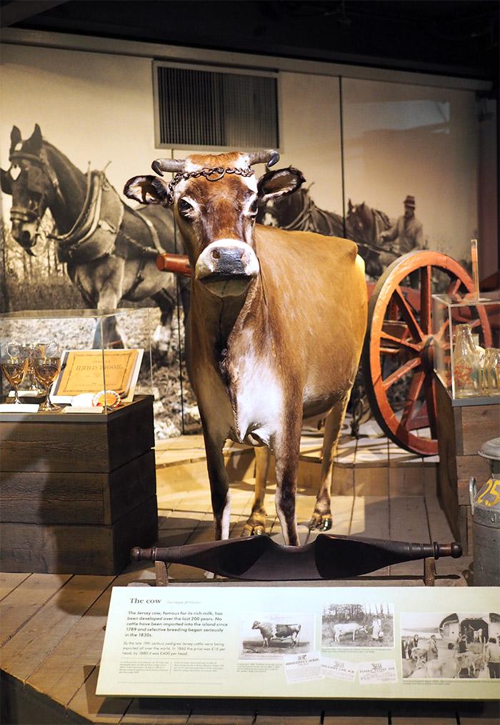 vache jersoise musée st helier