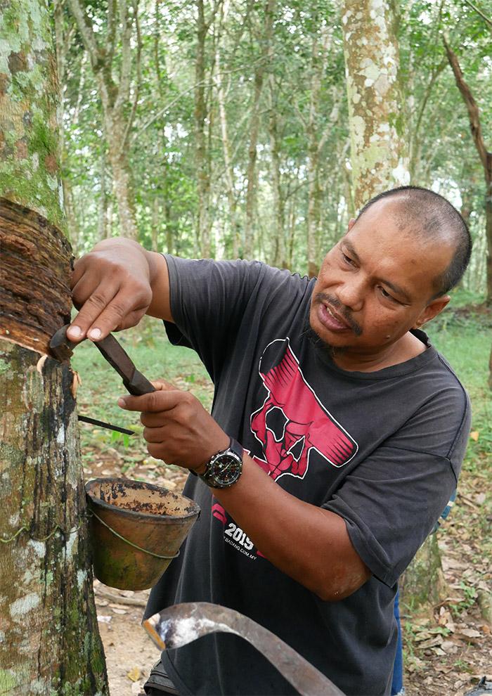 malaisie latex arbre perak