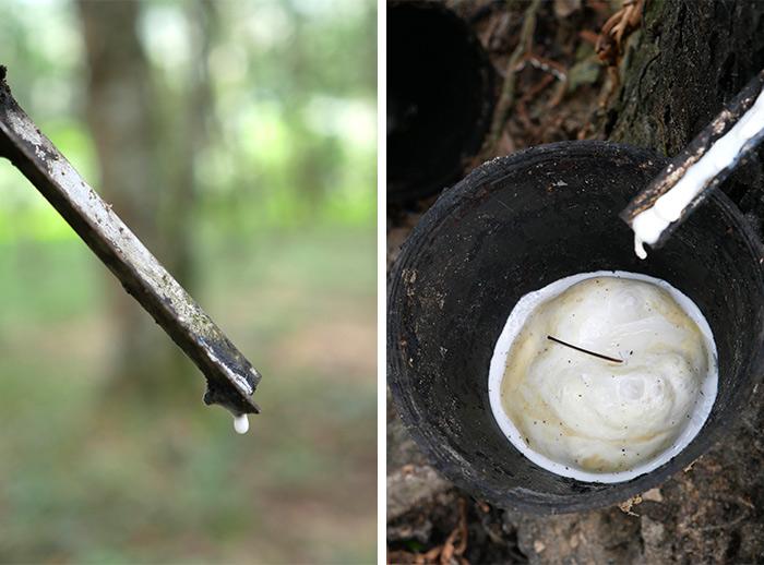 perak recolte hevea caoutchouc arbre