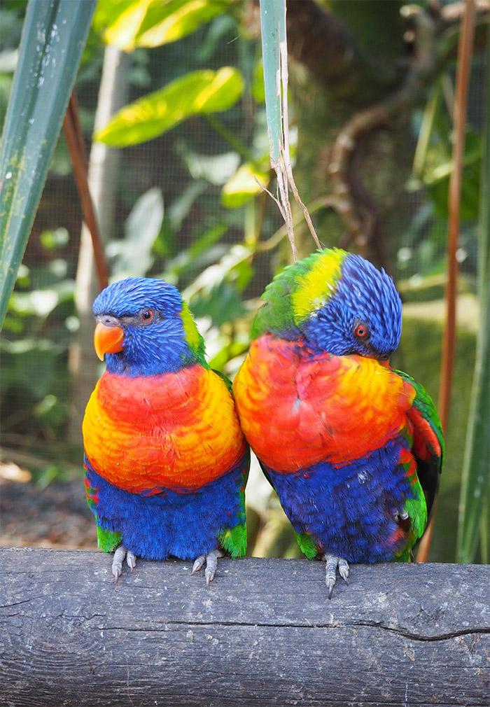 guadeloupe loriquet oiseau deshaies