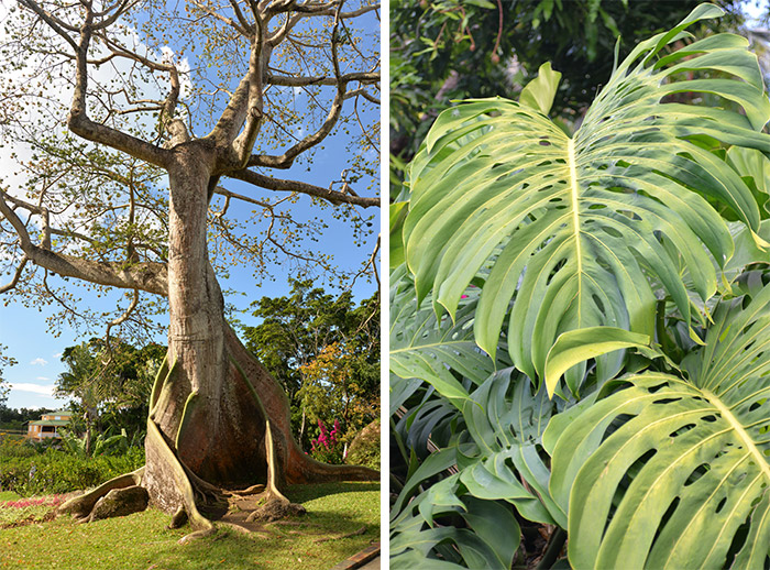 guadeloupe jardin deshaies arbre fromager