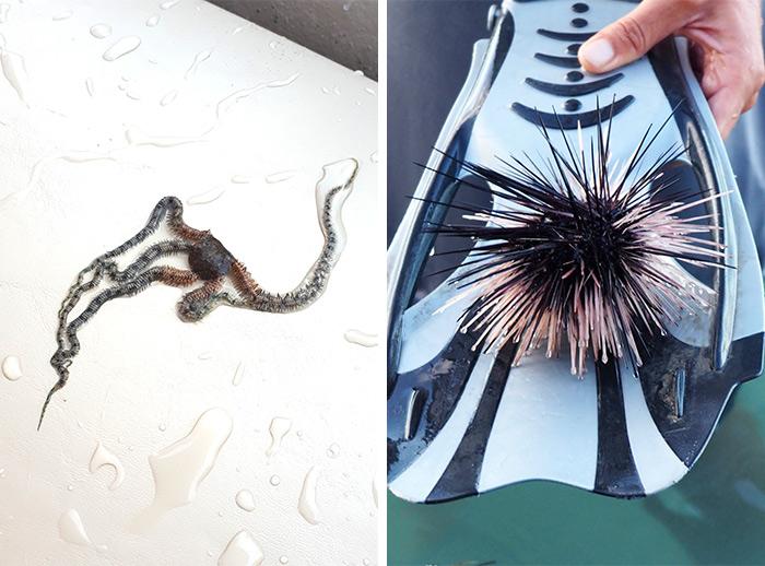 guadeloupe etoile mer oursin