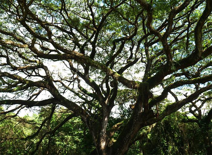 arbre zamana habitation ceron